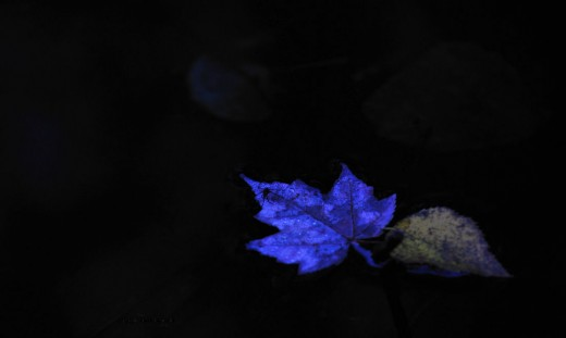 I call this ghost leaf strider rider because of its spooky look and the surprise find of a water strider riding it.