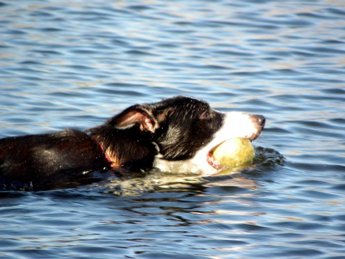 Swimming to get the tennis ball