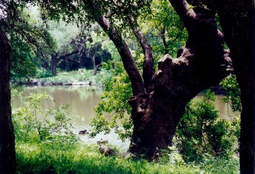 Old oak tree along the Salado Creek