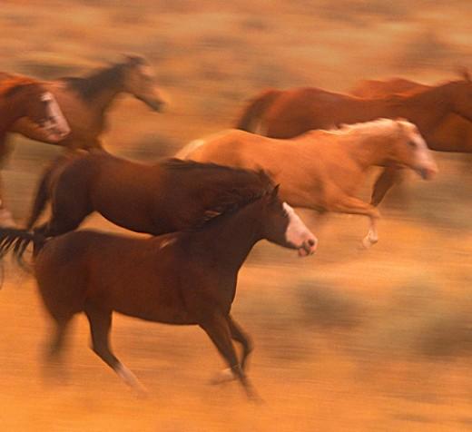 horses running free. wild horses running free