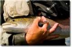 Danube (Huchen) Salmon