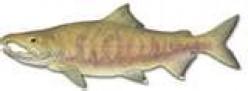 Dog Salmon