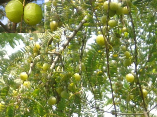 Amla on Tree