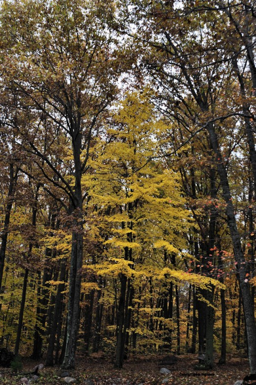 A maple stands out at the edge of the oak woods.