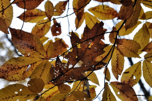 An oak leaf damaged by a skeletonizer worm is caught in browning beech leaves.