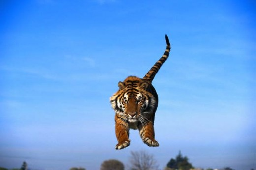 Photo - The Wacka-Wacka Tiger