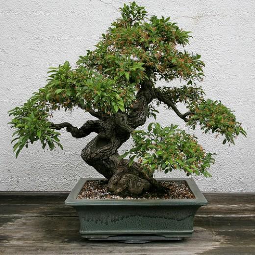Top unique bonsai trees gallery top unique bonsai trees for Famous bonsai trees