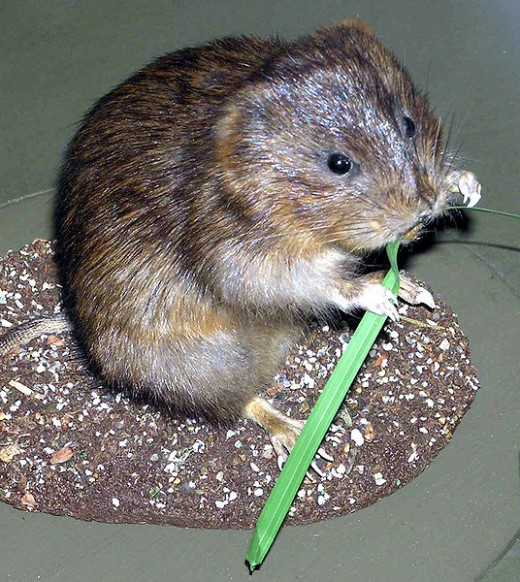 The loveable water vole is a harmless which eats vegative matter.
