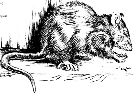 The detested brown rat.