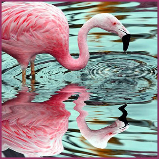 Do you know why Flamingos are pink