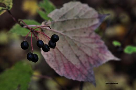 Mapleleaf viburnum berries are black against its uniquely mauvish-colored leaf.