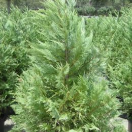 Leyland Spruce