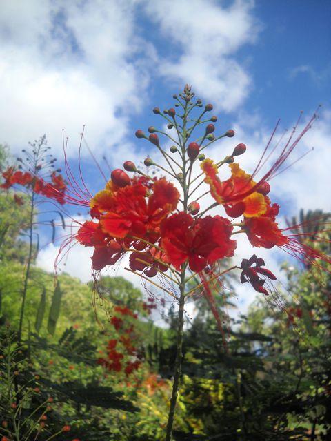 Red Flame plant Copyright RE Kongaika