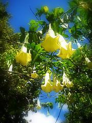 Yellow Bells copyright RE Kongaika