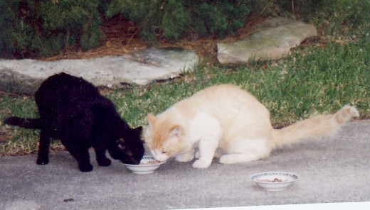 Mama Kitty and her friend, Walter eating moist cat food we put out for them each day.  Dry cat food was also kept in our garage as well as water.