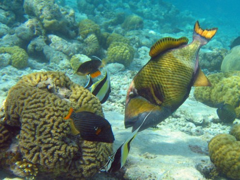 triggerfish.  Photo: wikipedia