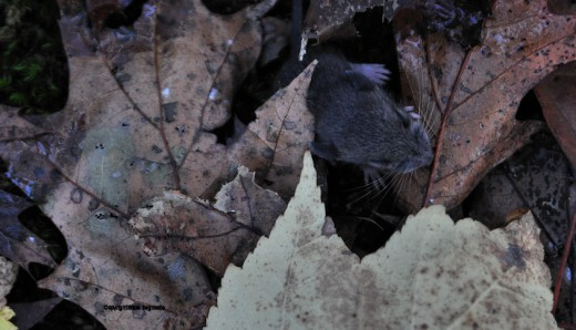 The young mouse headed for the cover of leaves and began licking moisture off leaves.