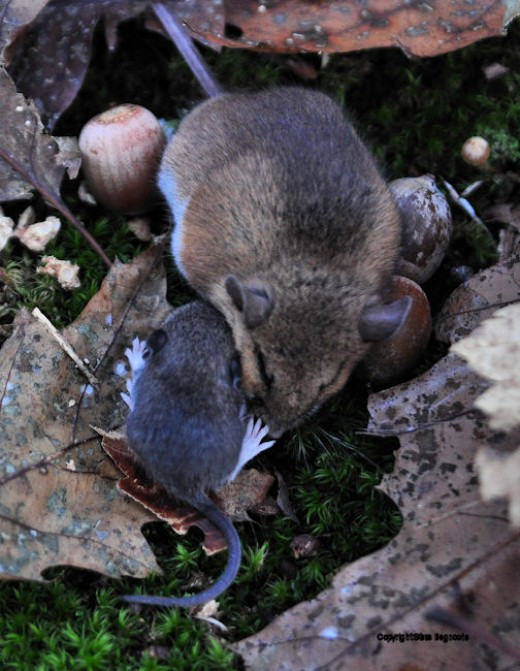The younger mouse nuzzled, groomed and attempted to get beneath the older mouse. What for? To nurse? For warmth?