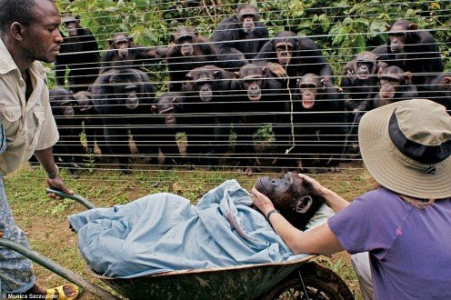 Chimpanzees appear to console one another as Dorothy is carried to her final resting place in a wheelbarrow.