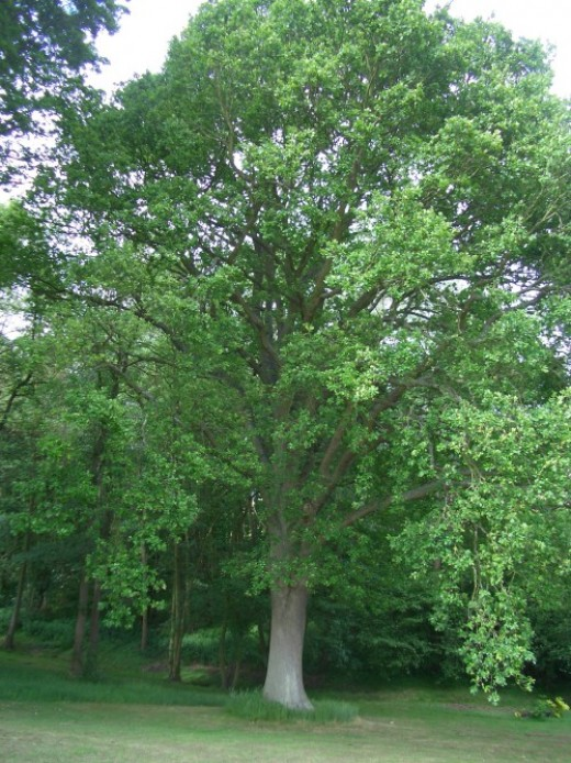English oak in summer