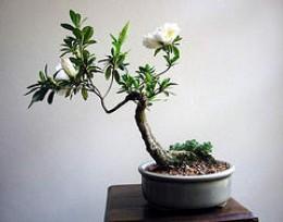 An Elegant Bonsai