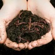 wormcompostingfan profile image