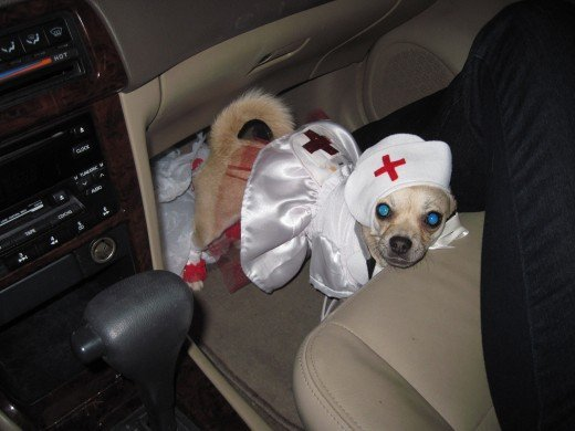 Chihuahua in Nurse Costume for Halloween