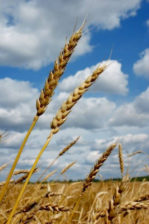 Wheat - a basic commodity
