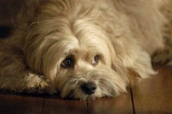 How to treat Dog Flu Symptoms