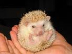Hedgehogs:  Beloved Yet Threatened.