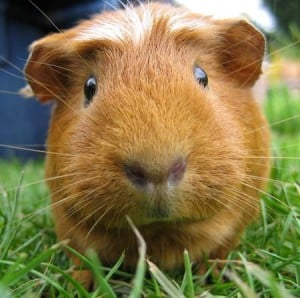 Guinea pigs have found a place as companion animals.