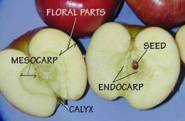 An apple is a pome fruit.  The parts of the fruit are labelled.