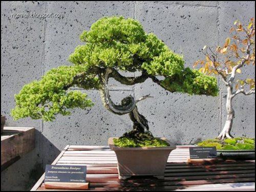 Japanese Bonsai Trees
