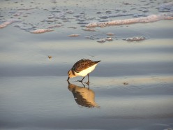 Sanderling fishing on the beach.
