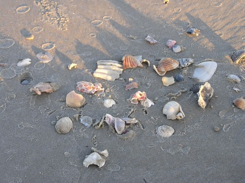 Seashells along the beach.