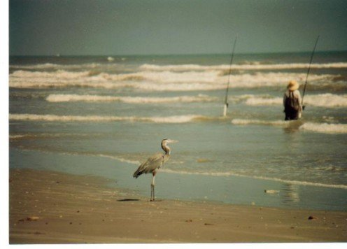 Heron stalking a fisherman.