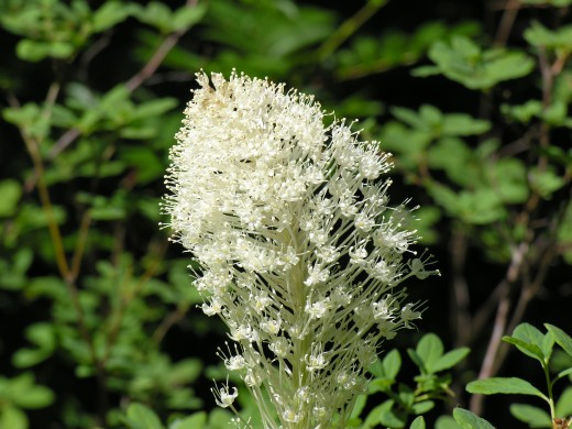 Beargrass.