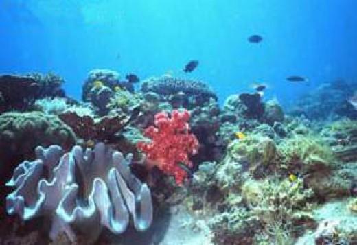 Malapascua Corals