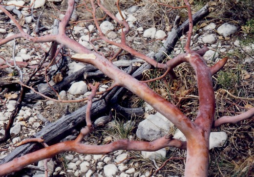 The fallen red branches are from the Madrone tree.
