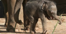 Luk Chai the first elephant to be born in Taronga Zoo