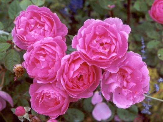 Bright pink rose flowers