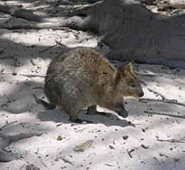 Quokka on Rottnest Island