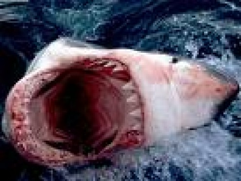 """Cummon, tickle my nose, I won't bite ya!""      sharkforum.org photo"