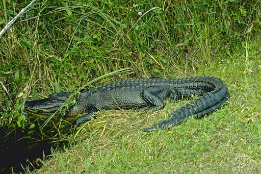 sunning alligator