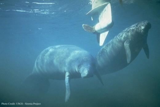 Manatees at risk from boats in the Everglades