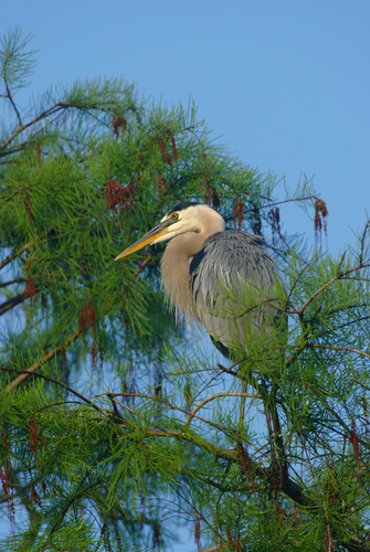 great blue heron in cypress tree