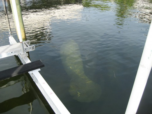refreshed manatee swimming away