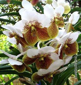Waling-waling (Vanda Sanderiana), the Queen of Philippine Orchids
