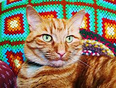 A fine Marmalade Cat.