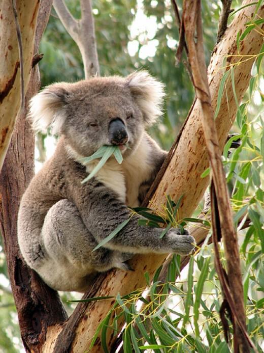 Koalas are common on Phillip Island.